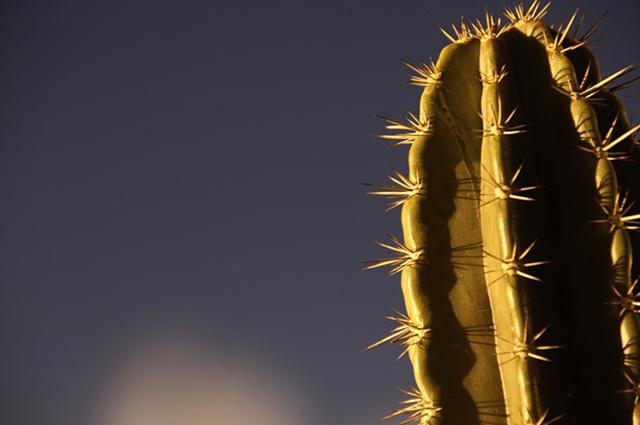 . São plantas comuns de desertos as chamadas xerófitas, as quais são conhecidas pelas cactáceas