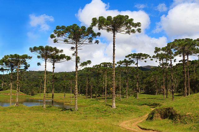 Tipos de vegetação do Brasil - Mata de Araucária