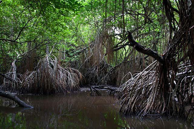 Mangues do Brasil - Fauna e outras características dos manguezais - Flora