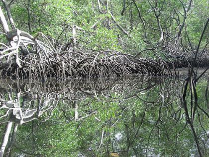 Mangues do Brasil - Fauna e outras características dos manguezais