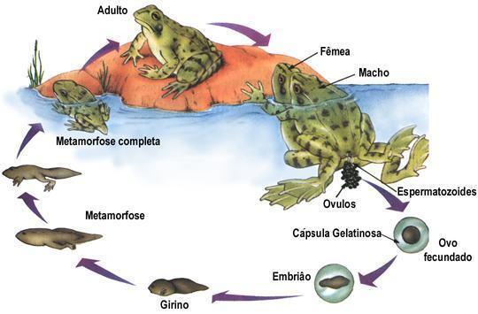 Anfíbios - Reprodução, alimentação e outras características