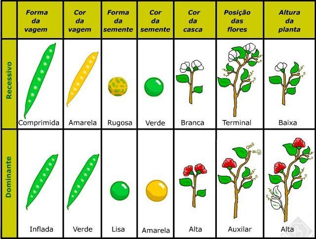 As leis de Mendel, o pai da Genética - Experimento com ervilhas