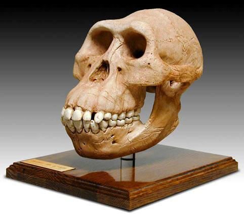 Crânio de um Australopithecus