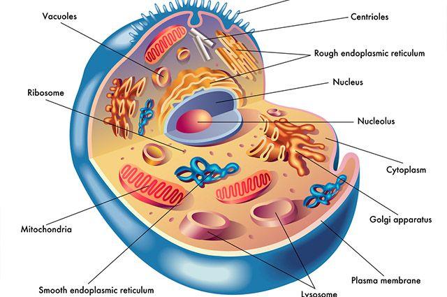 Citoplasma das células - Função e composição
