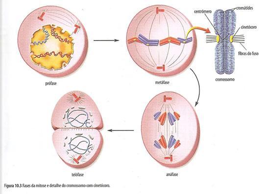 Mitose - Fases da divisão celular
