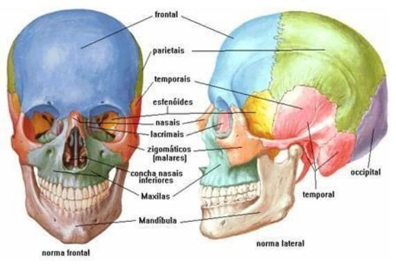 Ossos do corpo humano - Nomes e funções - Estudo Prático