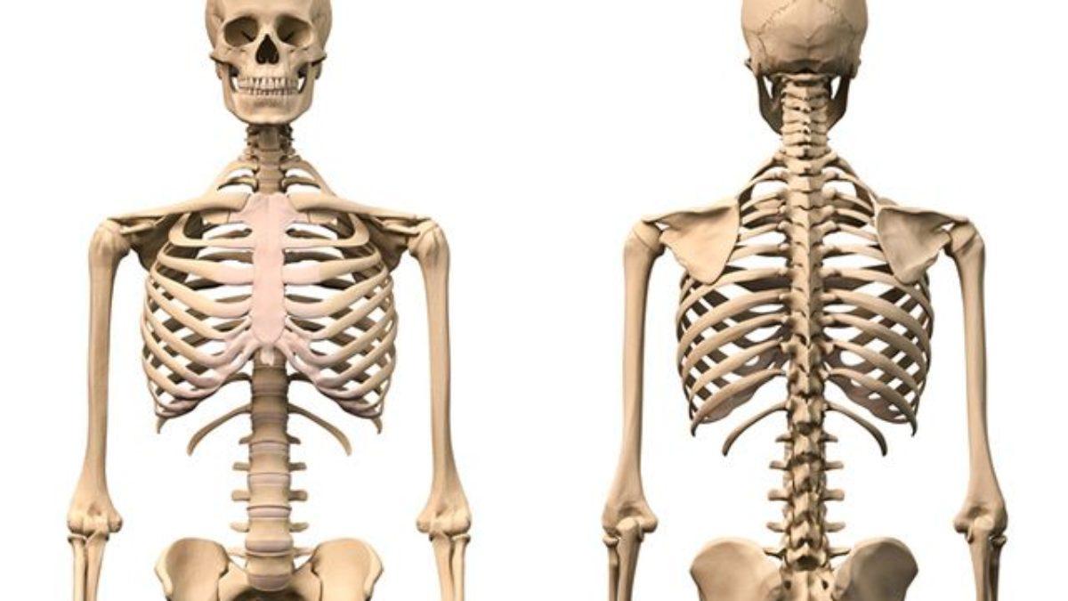 Ossos Do Corpo Humano Nomes E Funções Estudo Prático