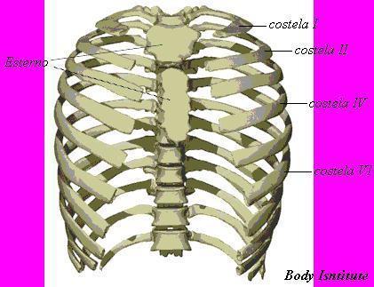 Ossos do tórax