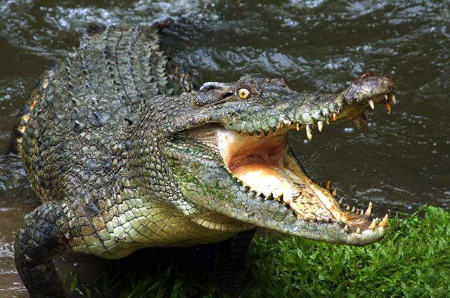 Répteis - Características, habitat e anatomia - Crocodilo