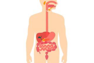 Sistema digestório humano – Órgãos e suas funções