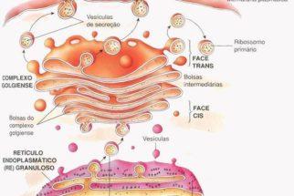 Complexo de Golgi – Estrutura e funções