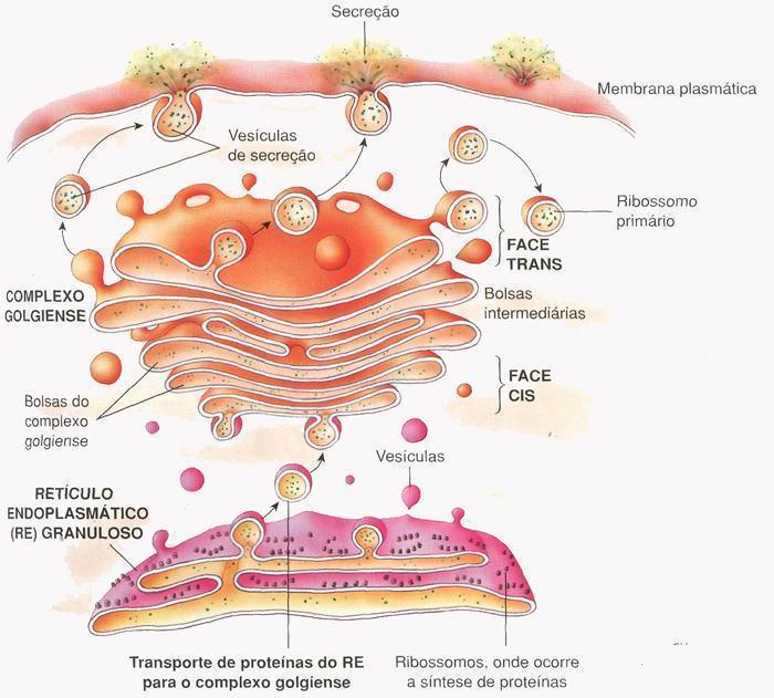 Esquema do Complexo Golgiense recebendo material do RER e secretando.