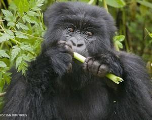 Gorila - Animail herbívoro