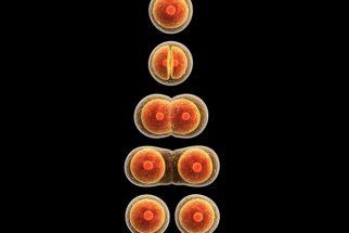 Mitose – Fases da divisão celular