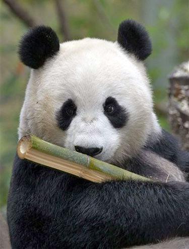 Urso-panda - Animal herbívoro