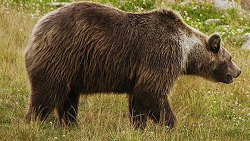 Urso - Animal onívoro