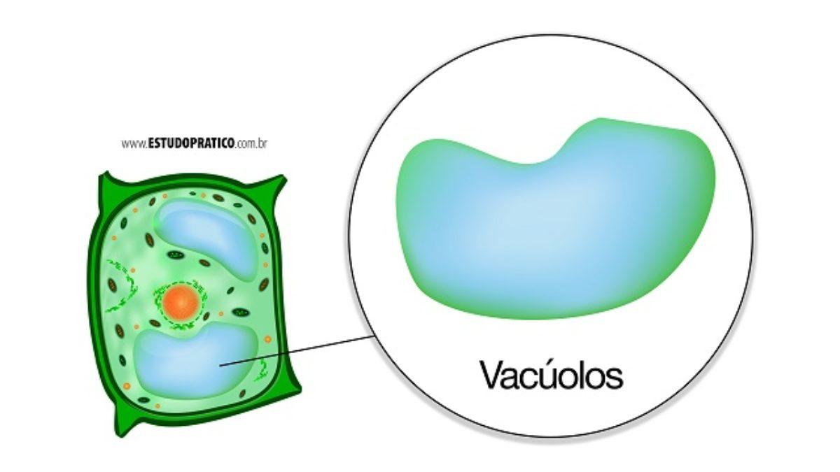 Vacúolos Tipos E Funções Desta Organela Celular Estudo