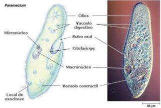 Vacúolos – Tipos e funções desta organela celular