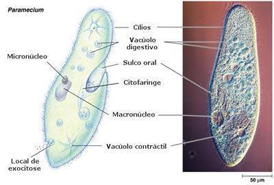 Vacúolos - Tipos e funções desta organela celular - Estudo Prático