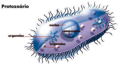 Protozoários - Reprodução, doenças e características