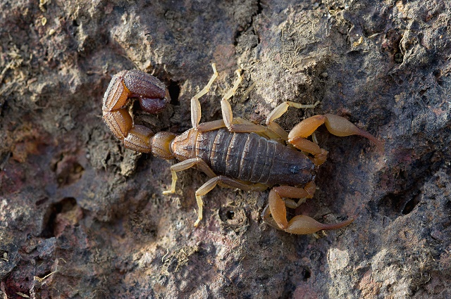 Escorpião amarelo e marrom