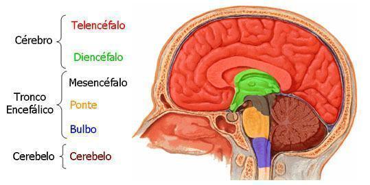 Resultado de imagem para Sistema nervoso central
