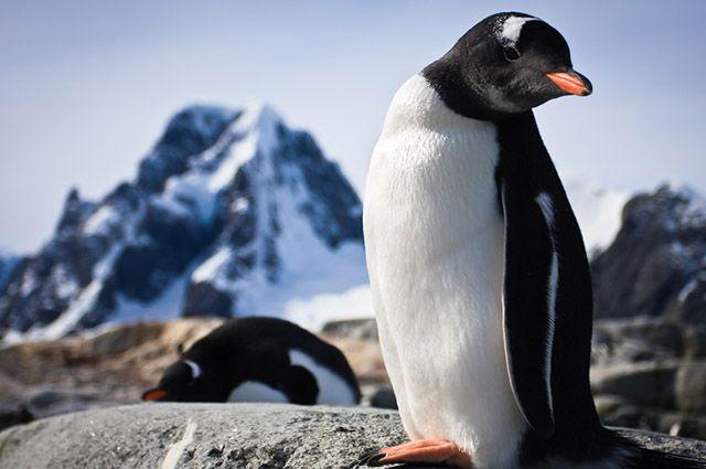 Regiões Polares - Pinguim