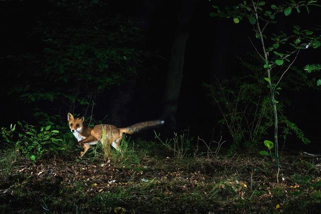 Raposa caçando a noite