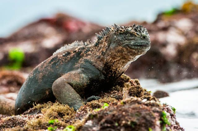 Arquipélago de Galápagos - Iguana