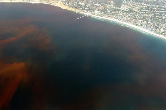 Maré Vermelha é um fenômeno natural ocasionado pela presença e proliferação de alguns tipos de algas tóxicas