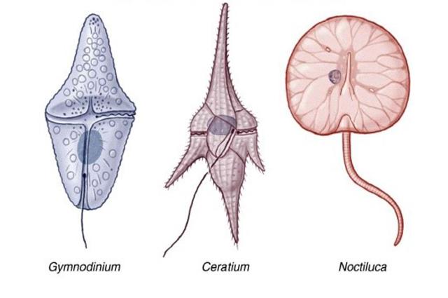 O tipo de dinoflagelado principal que ocasiona o fenômeno da Maré Vermelha é o Gonyaulax Catenella