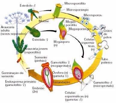 Reprodução das gimnospermas