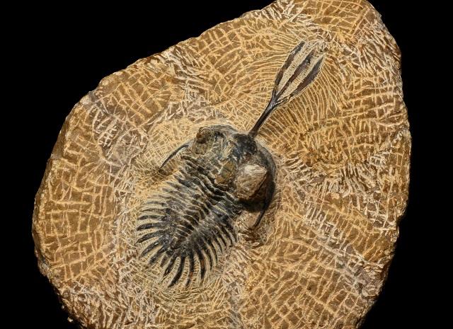 Fóssil de trilobita