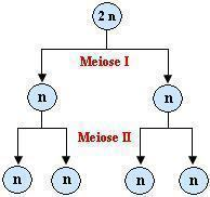 Meiose I e II