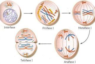 Meiose – Fases da divisão celular