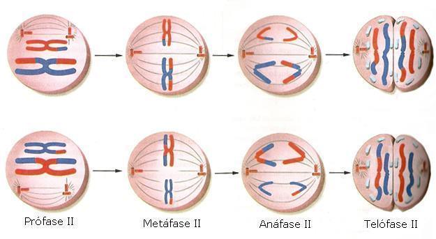 Meiose II – divisão equacional