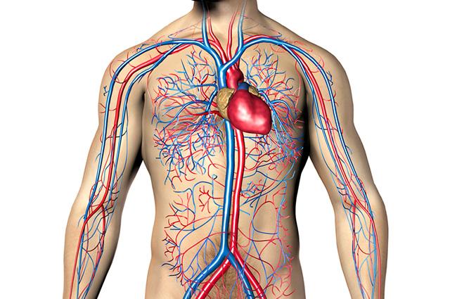 No sistema circulatório há estruturas responsáveis pelo bombeamento do sangue