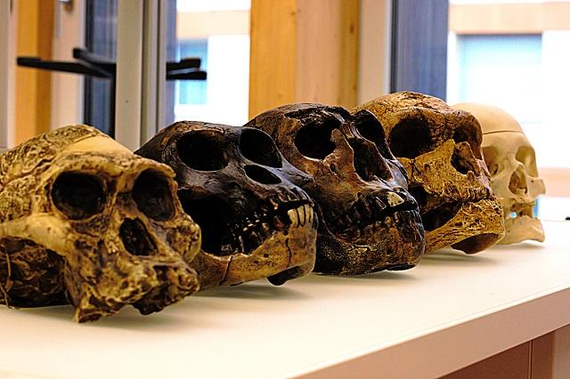Crânios de ancestrais humanos