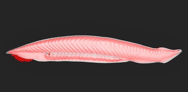 Estrutura corporal de um anfioxo