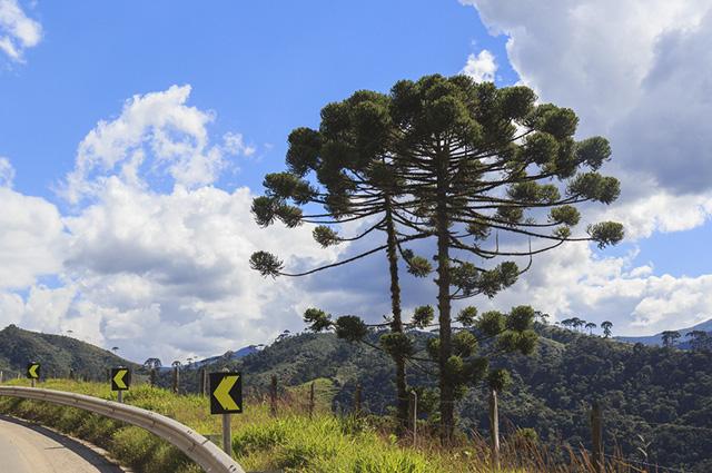 A espécie mais comum neste tipo de floresta é a Araucária Angustifolia