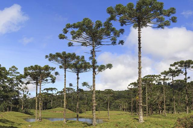 O relevo de planalto ou chapadas é coberto pelos bosques de araucárias