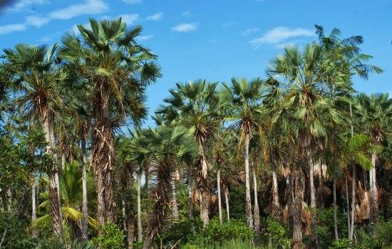 Mata dos Cocais - Relevo, características da vegetação e clima