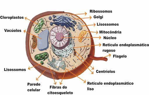 Organelas celulares - Quais são e suas funções