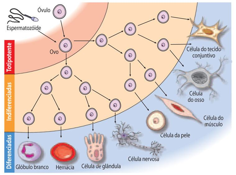 Diferenciação celular - Formação e como acontece