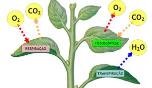 transpiracao-vegetal-cuticular-e-estomatica