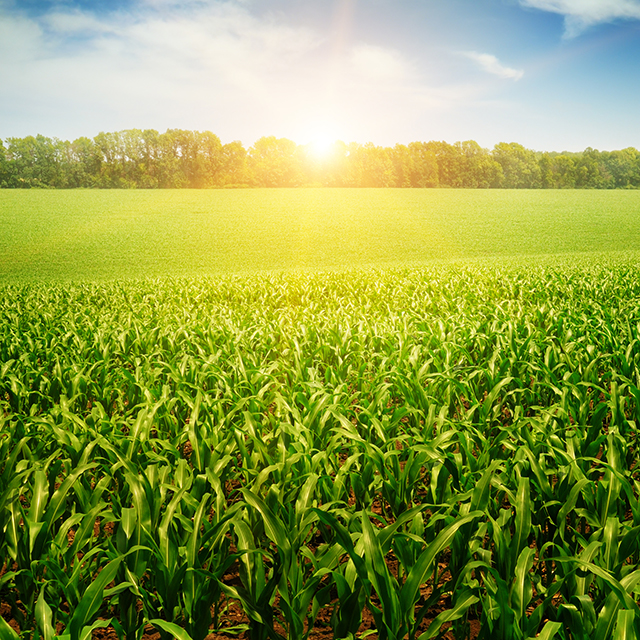 Imagem da plantação de milho