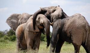 10-curiosidades-sobre-elefantes-que-voce-nao-sabia