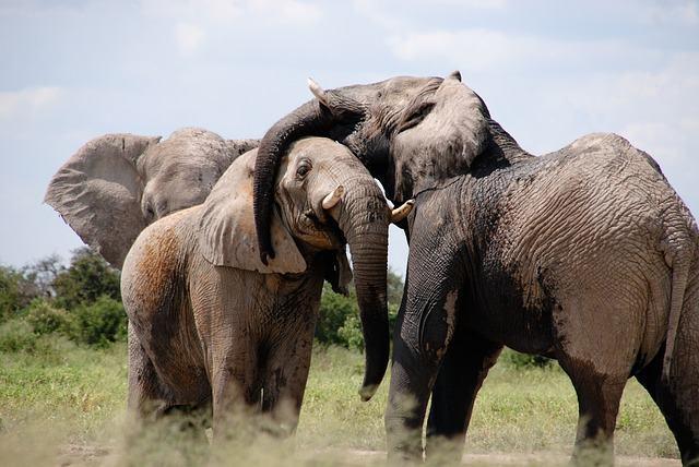 10 curiosidades sobre elefantes que você não sabia