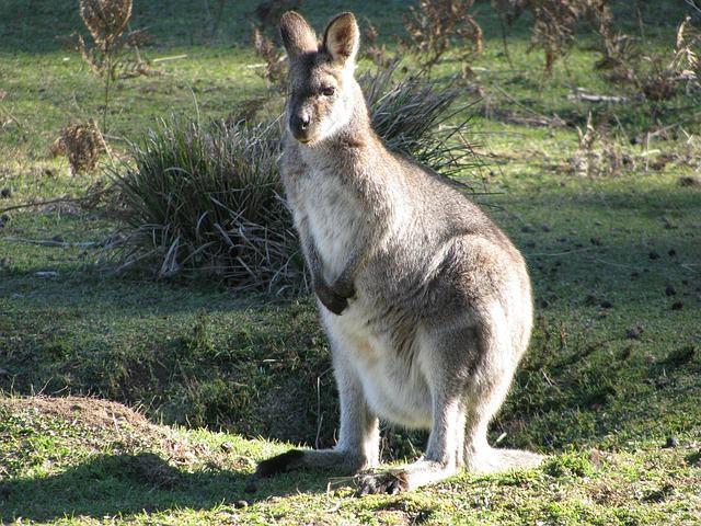 Descubra a origem do nome canguru