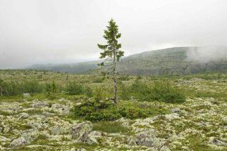 'Old Tjikko': a árvore mais antiga do mundo